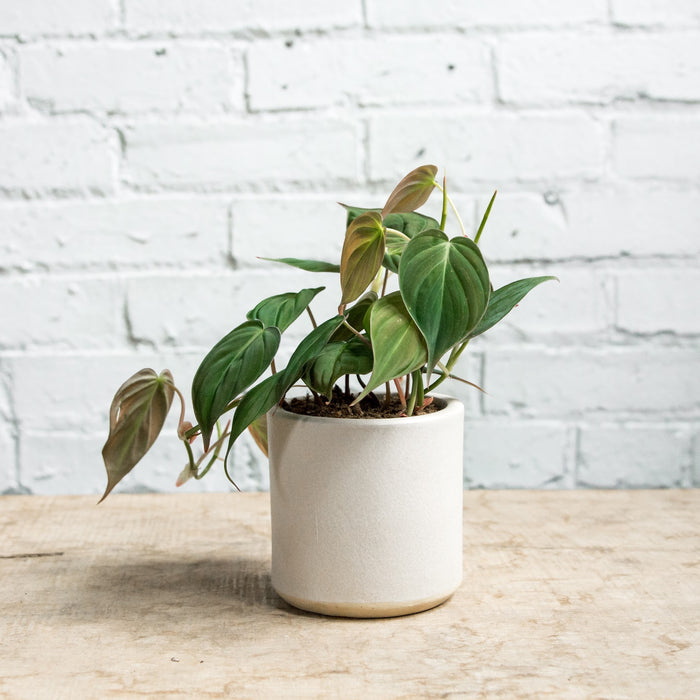 "4"" Philodendron Micans in STUMP Wares planter"