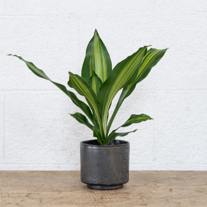 "4"" Dracaena Gigantica in Kiln Room planter w/ drip tray"