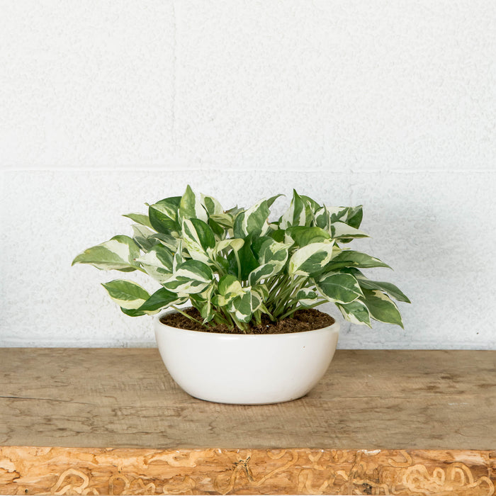 "6"" Pothos N'Joy in low planter"