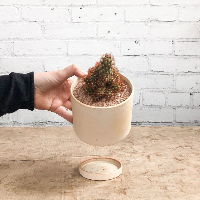 "4"" Gold Lace Cactus in Kiln room planter + drip tray"