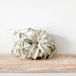 Tillandsia Xerographica (air plant) - Large