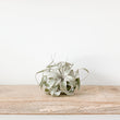 Tillandsia Xerographica (air plant) - Small