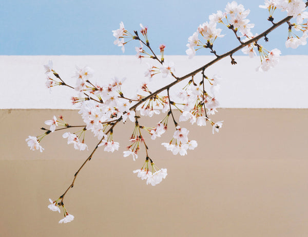 photos of a cherry blossom branch in front of a a blue sky and beige wall