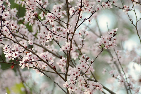 Japanese Cherry Blossom Fragrance