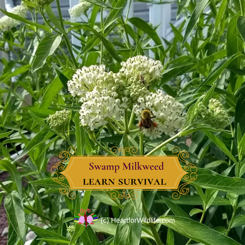 Swamp Milkweed Monarch butterfly host plant