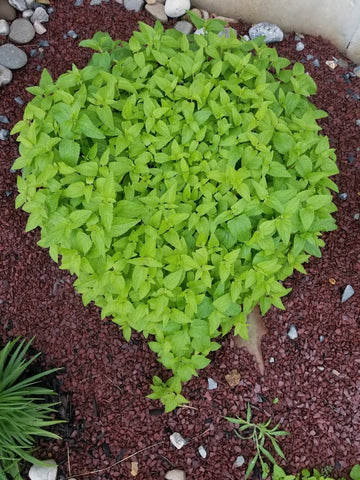 Blue mistflower Conoclinium coelestinum Heart shaped bush