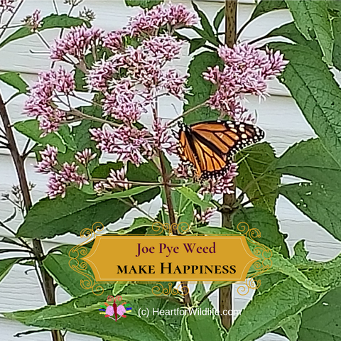 Joe Pye Weed - Native Plant for Butterflies and Bees