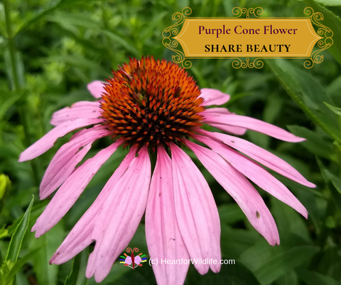 Purple Cone Flower - Share Beauty