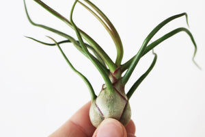 Bulbosa airplant