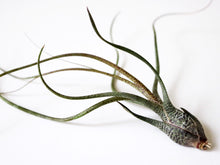 Butzii airplant