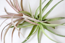 Capitata airplant