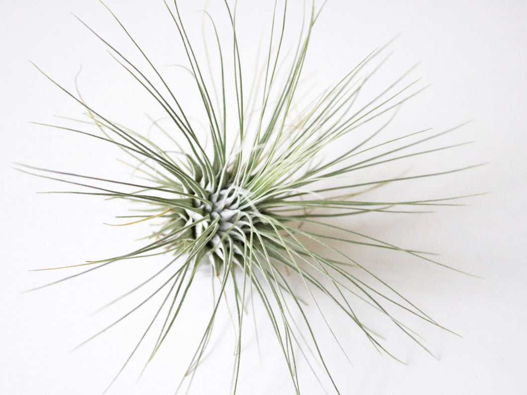 Gracilis airplant