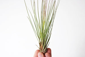 Juncifolia airplant
