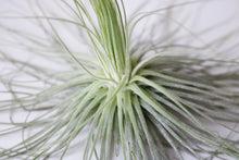 Magnusiana airplant