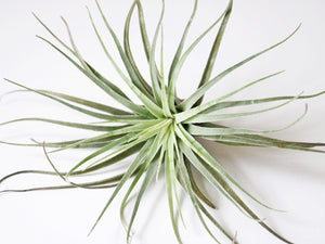 Oaxacana airplant