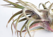 Pruinosa airplant