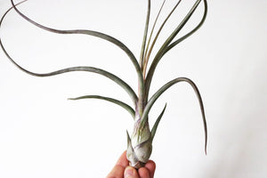 Pseudobaileyi airplant