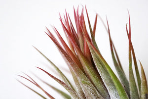 Scaposa airplant