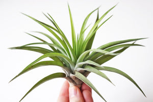 Velutina airplant