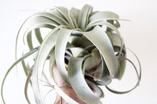 Xerographica airplant