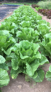 Head Lettuce, Romaine