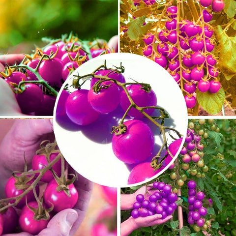 Tomato Bonsai Plant Seeds Organic Food