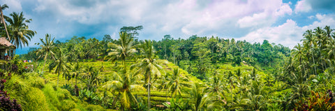 Bali/Indonesia/Rice paddy/Palm trees/