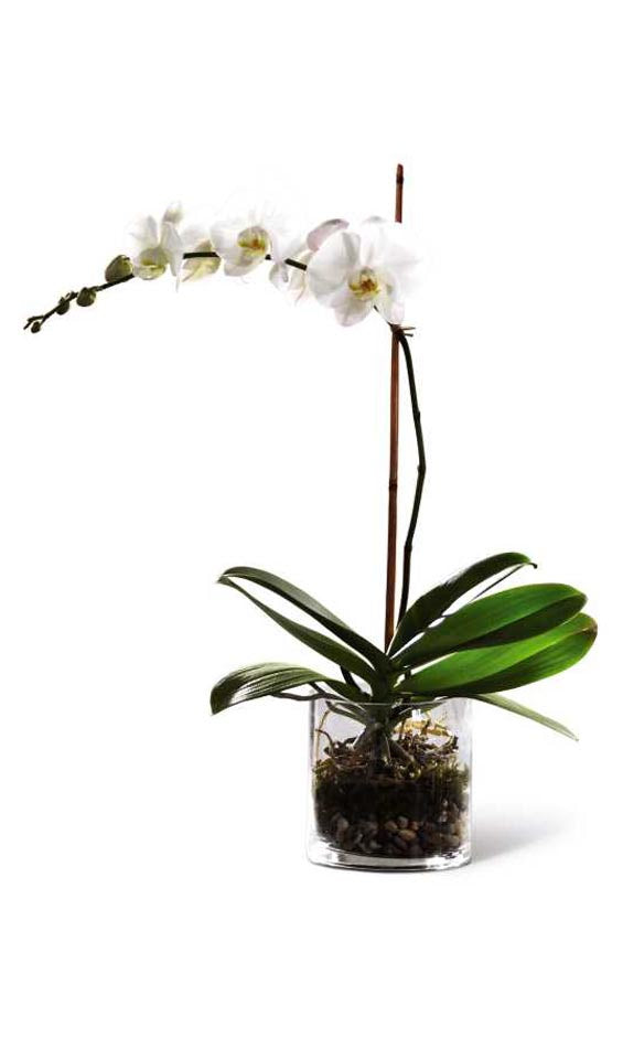POTED ORCHID IN VASE (SMALL)