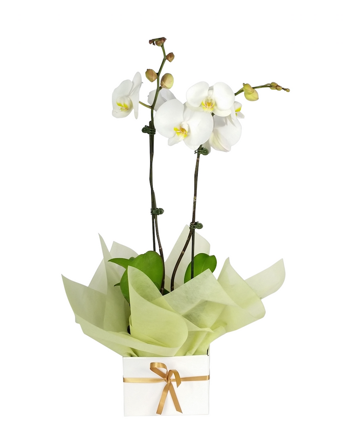 Potted Orchid Plant (Large) Gift Wrapped