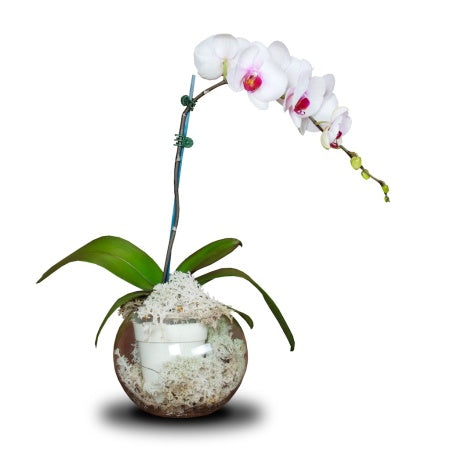 POTTED ORCHID IN VASE (LARGE)