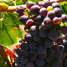 Grapes from Baroota Vineyard