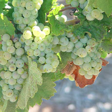 Kilikanoon Mort's Block grapes