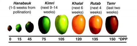 Stages of date fruit