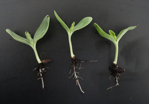 How to Transplant Extra Seedlings
