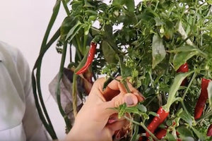 How to Harvest Ring-O-Fire Cayenne Peppers