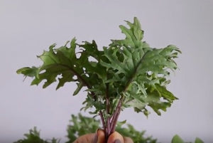 How to Harvest Baby Red Russian Kale