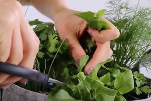 How to Harvest Sorrel