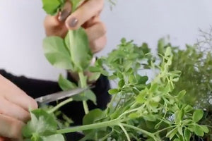 How to Harvest Petite Snap Greens