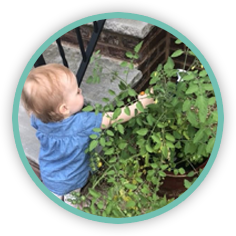 A young toddler picks tomatoes from a Seedsheet container garden