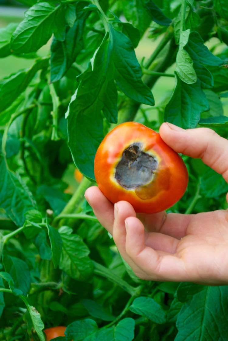 8 important stages of growing persimmon from the stone 26