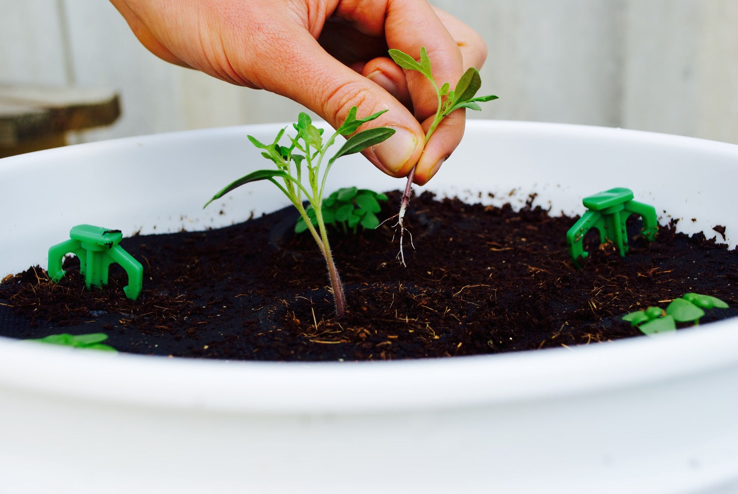 How to Thin Your Tomato Plants – Seedsheets