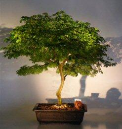 Flowering Brazilian Raintree Bonsai Tree (pithecellobium tortum)