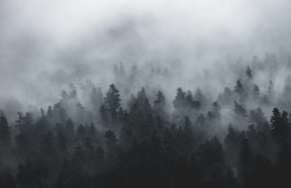 A conifer forest under fog cover