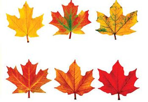 Classic Accents?« Variety Pack - Maple Leaves