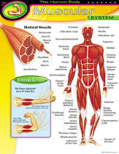 Learning Chart - The Human Body?ÇôMuscular System
