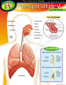 Learning Chart - The Human Body?ÇôRespiratory System