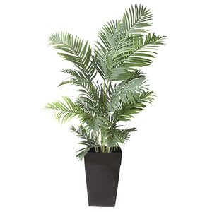 6' Areca Palm in Black Planter