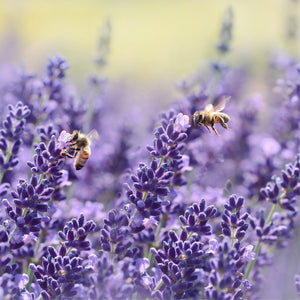 Plant a Bee-friendly garden