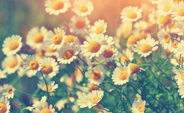 Herb Highlight: Chamomile