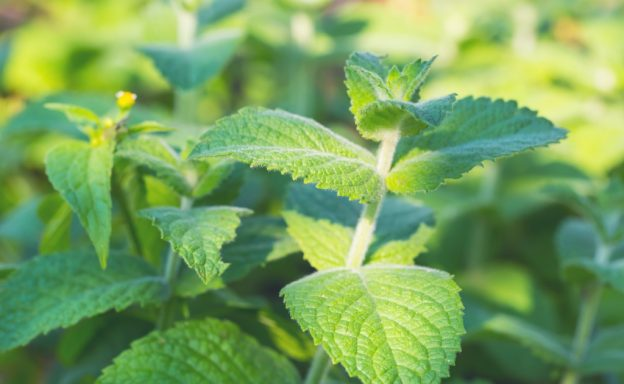 Herb Highlight: Mint